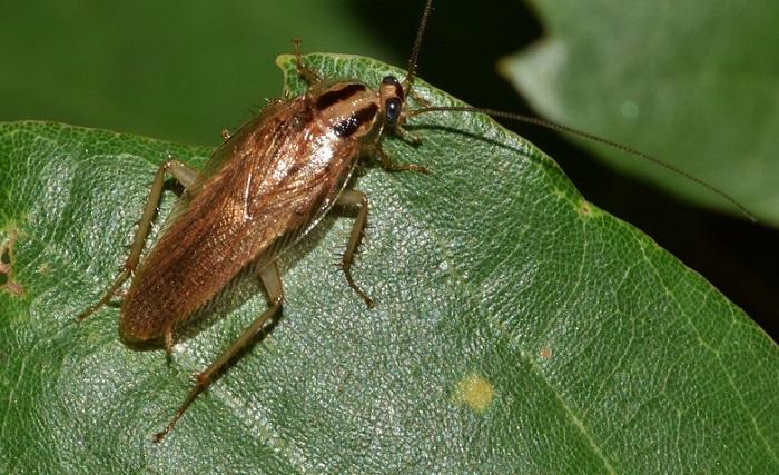 Cucaracha sobre hoja verde